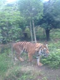 Tiger F